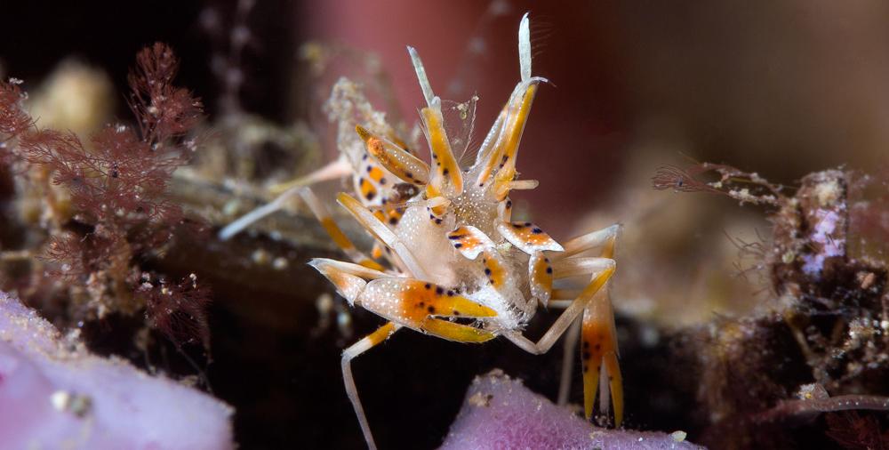 Spiny Tiger Shrimps